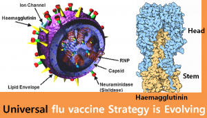 A STEP TOWARDS PEACE Universal flu vaccine Strategy is Evolving WHO universal flu vaccine swine influenza Spanish Flu seasonal influenza virus H5N1 H1N1 flu vaccine strategy CDC avian influenza
